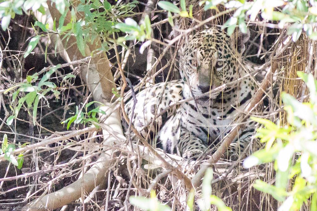 the illusive jaguar
