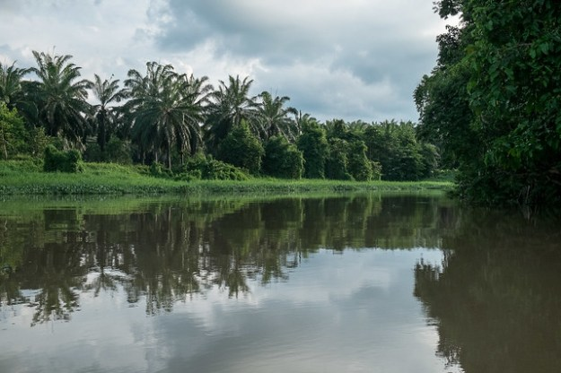 Palm oil plantation. Kinabatangan