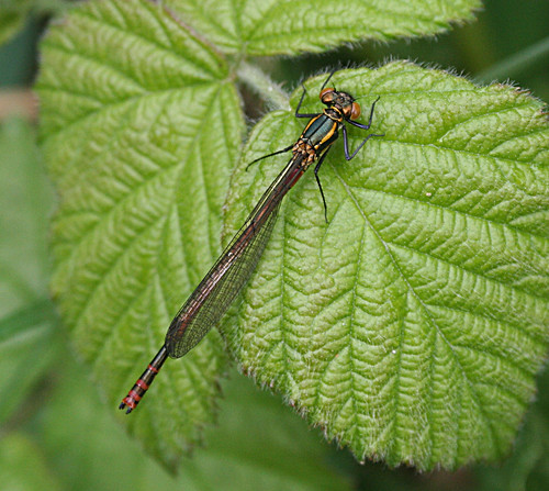Large Red Damselfly Pyrrhosoma nymphula Tophill Low NR, East Yorkshire May 2013