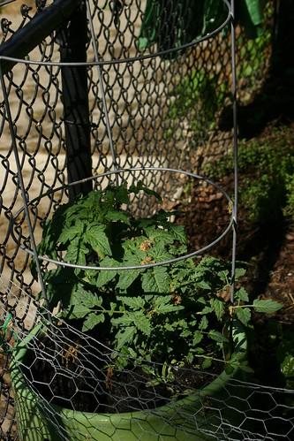 Tomato starts in a green tub