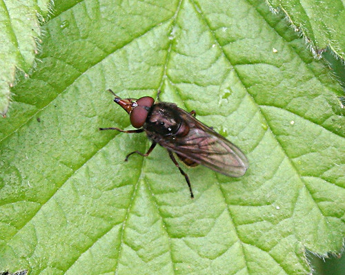 Rhingia campestris Tophill Low NR, East Yorkshire May 2013