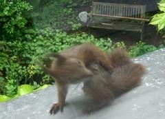 Eichhörnchen 10