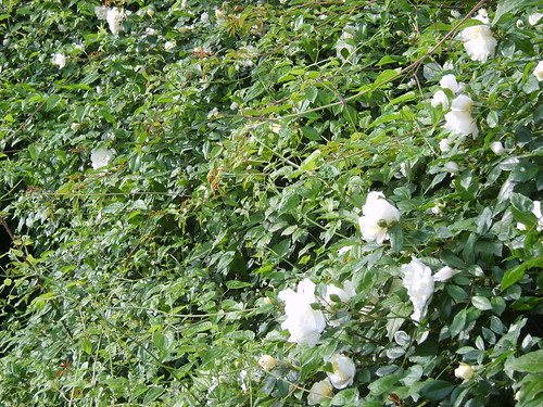 "Foto "" Rose – Roses"" by unpodimondo – flickr"