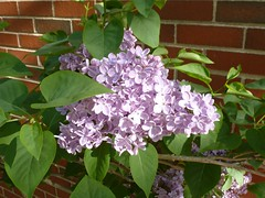 Lilacs - May 15 / Day 135