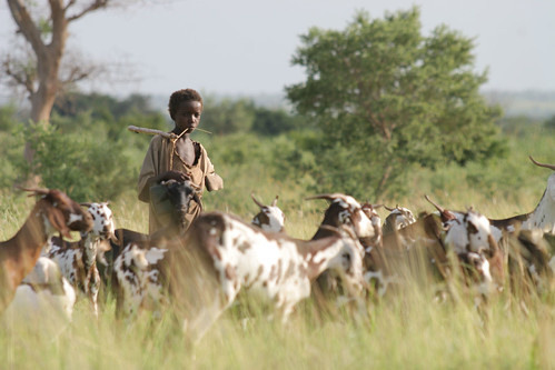 Fulani boy in Niger herds his family's animals
