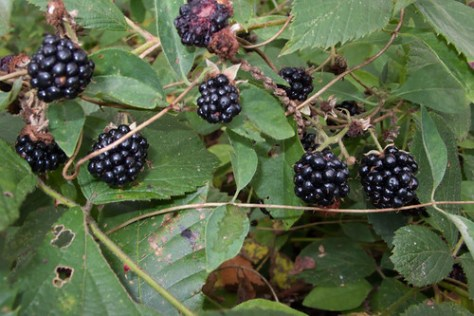 Blackberries everywhere