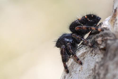 Jumping spider (Phidippus audax?)