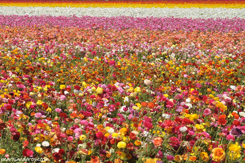 flower_fields_multicolored_web