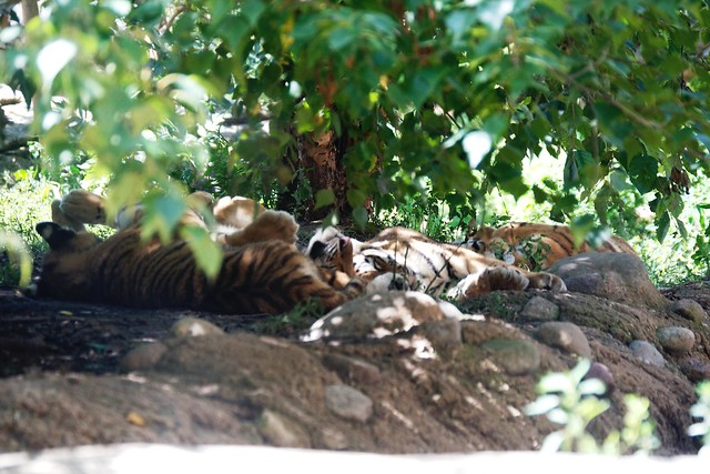 Tiger Cub Cuddle Puddle