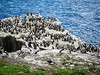 Puffins and kittiwakes (2)