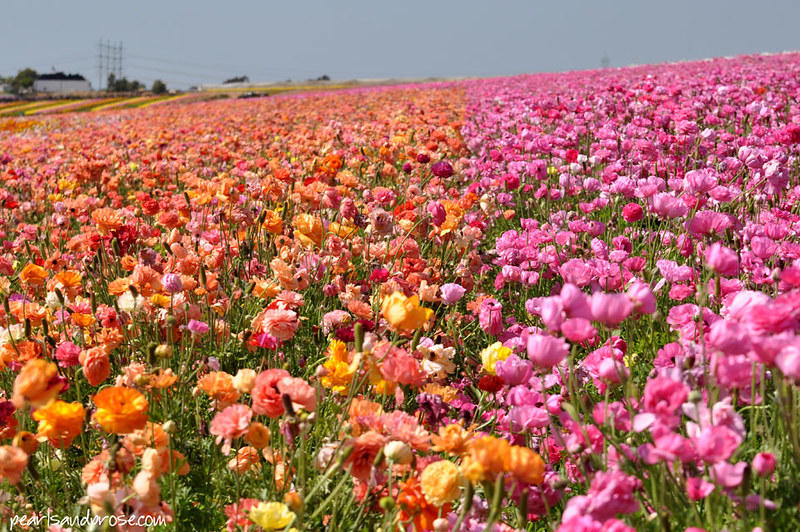 flower_fields_orange_pink_web