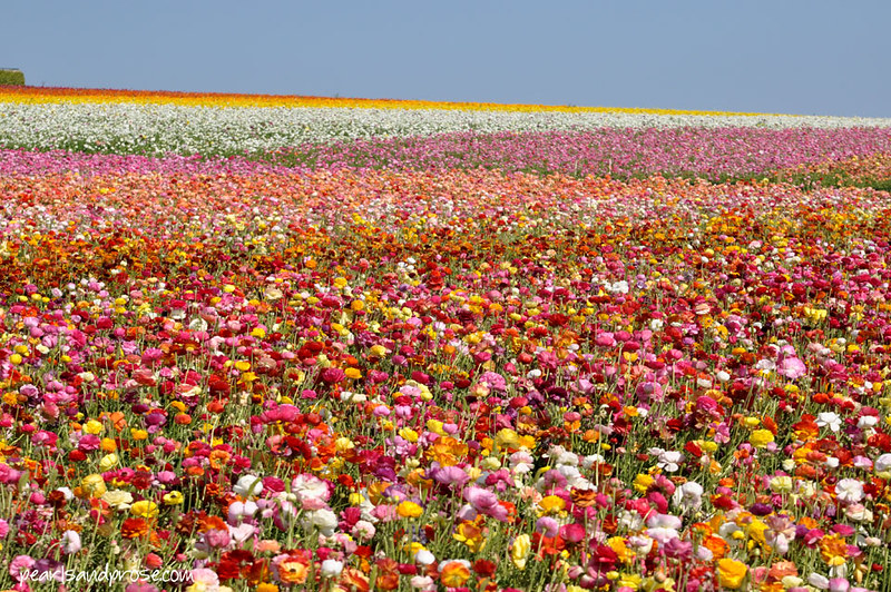 flower_fields_zigzag_web