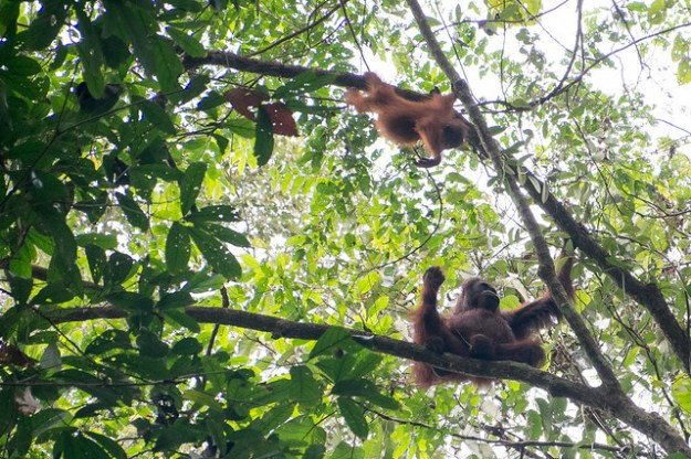 Orangutan mother and baby. Rainforest Discovery Centre, Sepilok