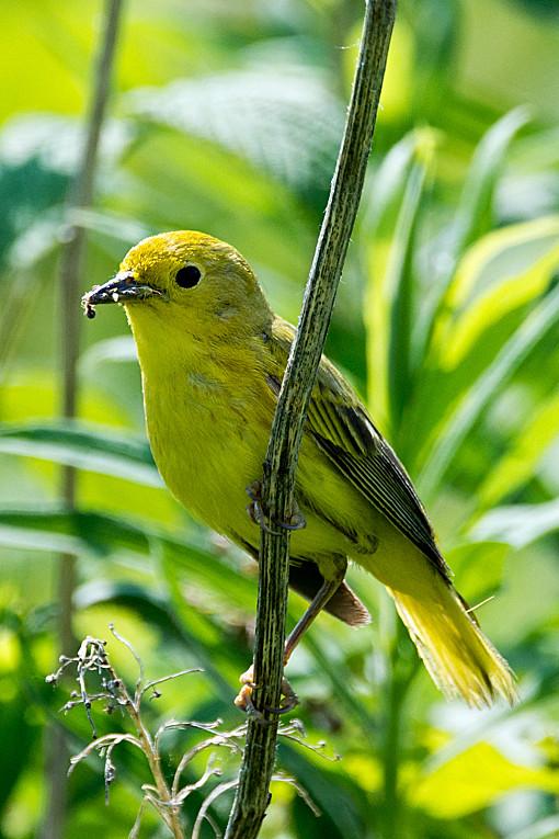 _DSC1042 Yellow Warbler (f)