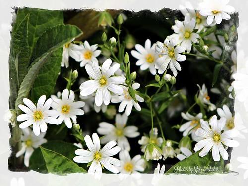 White-flower by Zo Nicholas by Zo Nicholas