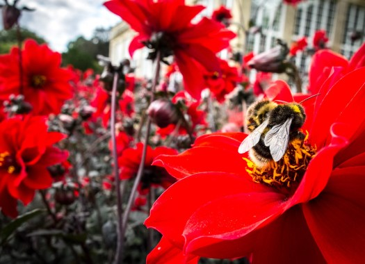 Busy Bee Working On Red Flowers, by Pixelglo Photography