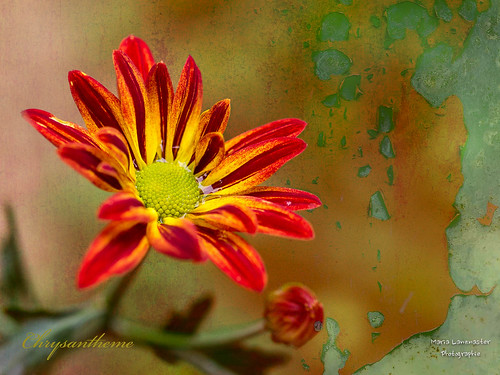 Chrysantheme mit Textur