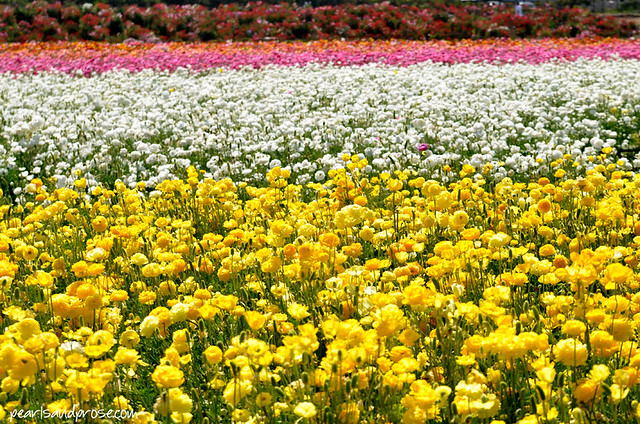 flower_fields_yellow_web