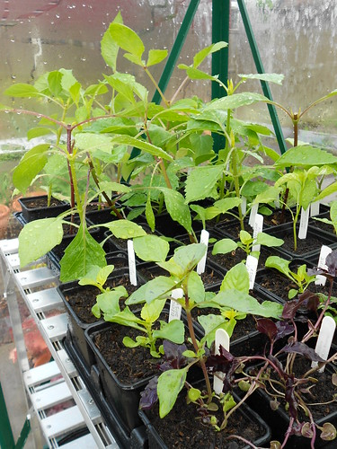 Dahlia seedlings