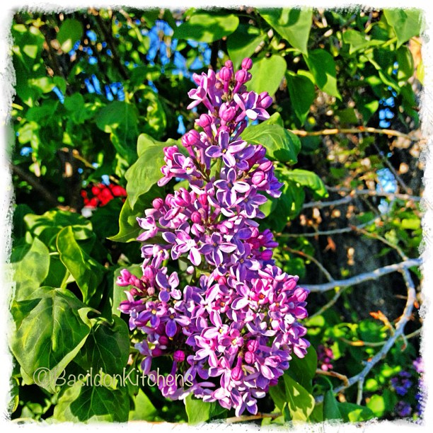 May 17 - season {lilacs blooming is a sure sign of spring} #fmsphotoaday #spring #lilacs #blooming