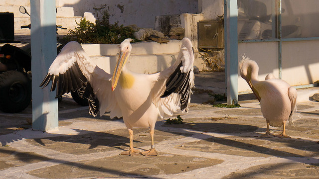 The pelicans of Mykonos