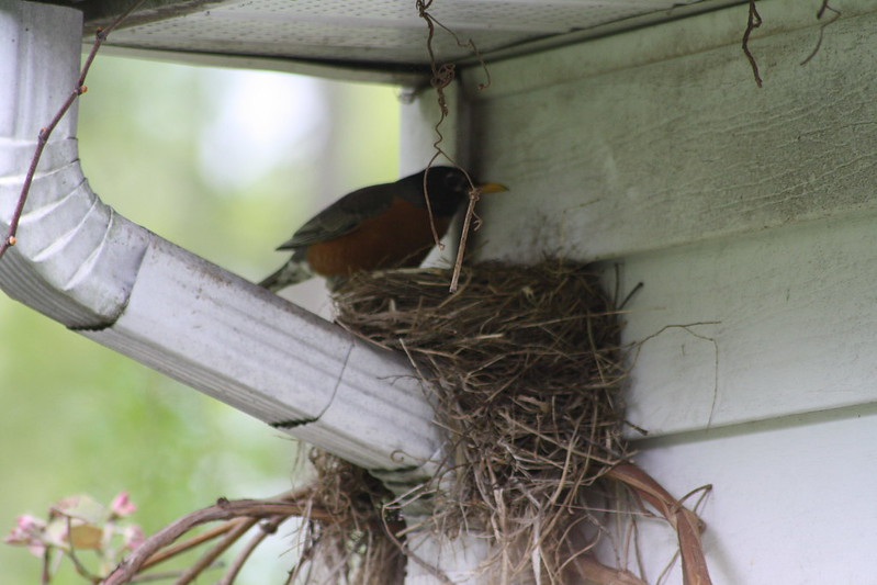 robin arrives at nest