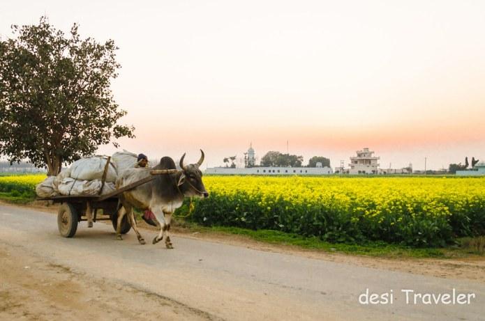 Bullock Cart Sarson Ke Khet Punjab