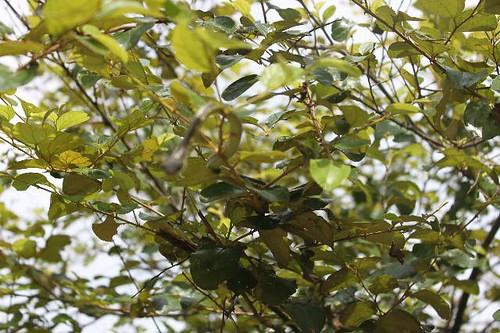 20130113_6804-snake-in-tree_Vga