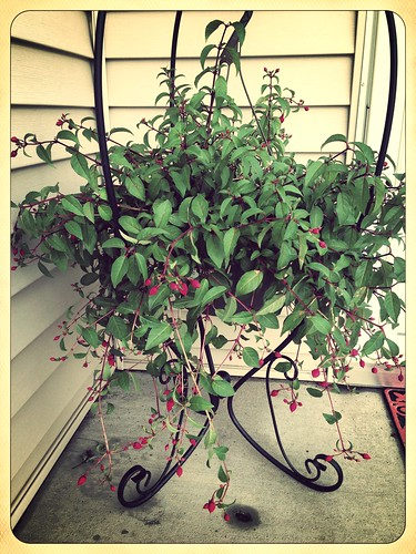 Plant holder & fuchsia plant