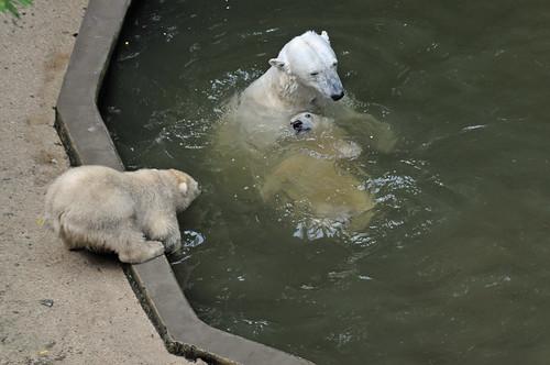 Eisbären Cora, Nanuk und Kometa im Zoo Brno