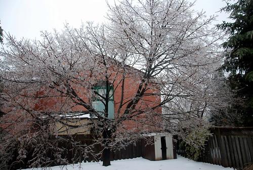 Norway maple Ice Storm 2013