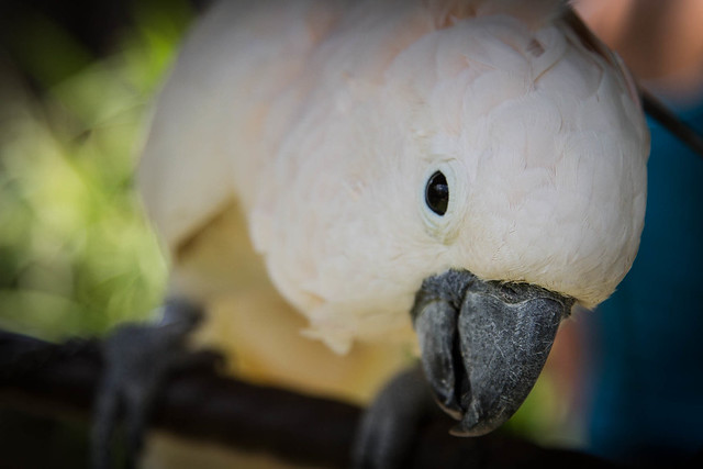 Cockatoo in Warung Ibu Oka, Ubud