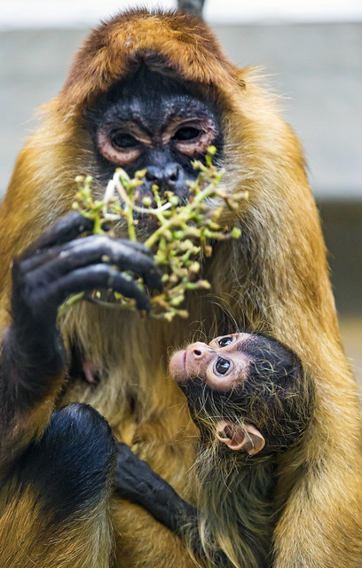 Mother And Baby Spider Monkey Eating Grapes Flickr Photo Sharing