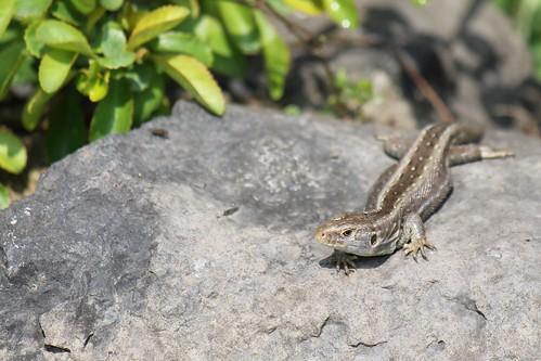 Ještěrka (Lizard)
