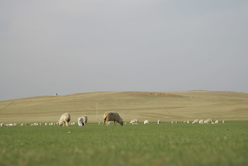 Sheep grazing in Inner Mongolia