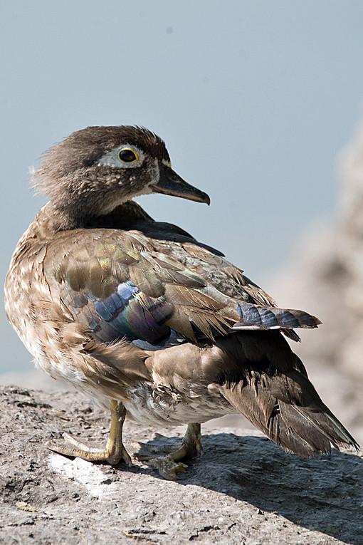 _DSC0922 Wood Duck (f)