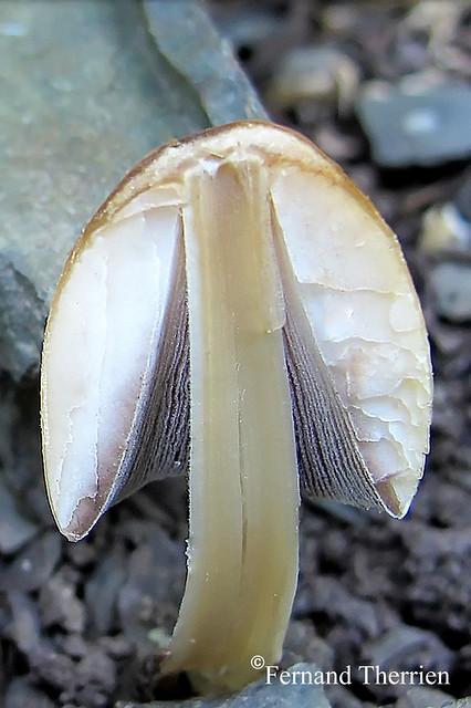Fig-1 C. micaceus