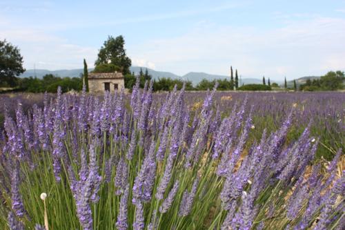 IMG_5826-Apt-lavender-field
