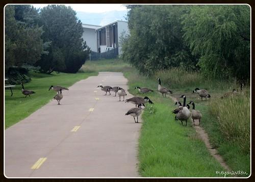 Caution: Geese X-ing