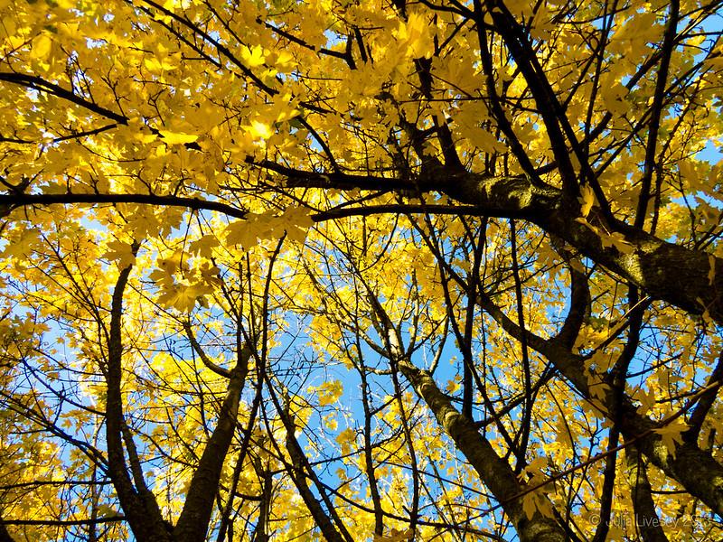 Field Maples
