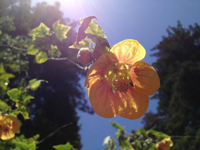 Orange-yellow hibiscus flower