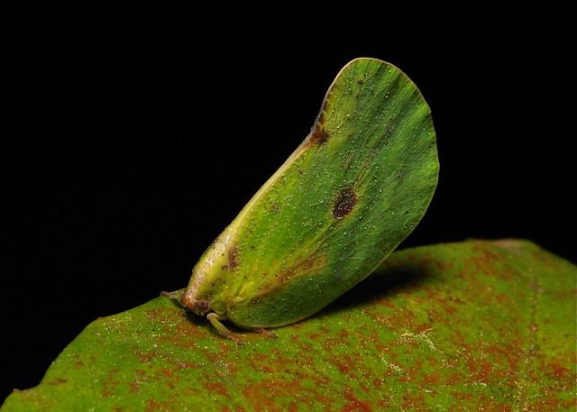 Flatid Planthopper (Flatidae)