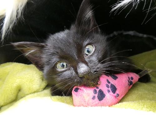 Miraculous kitten