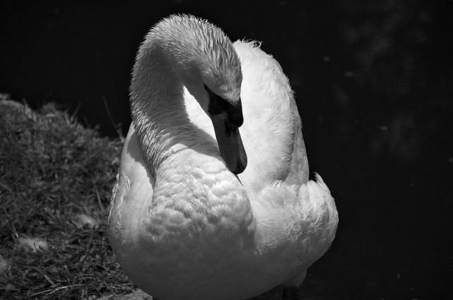 White swan