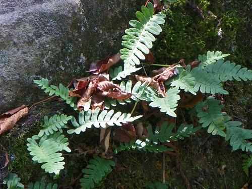 rock polypody (Polypodium virginianum)