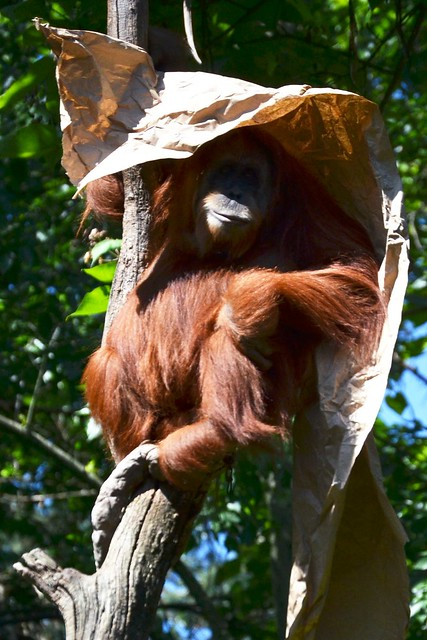 Sumatran Orangutang in the Shade