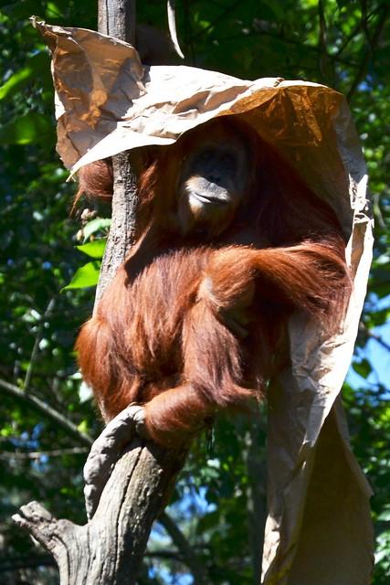 Sumatran Orangutang in the Shade