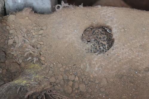 Basement Toad