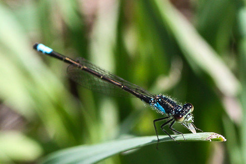Plains Forktail (Ischnura damula), male