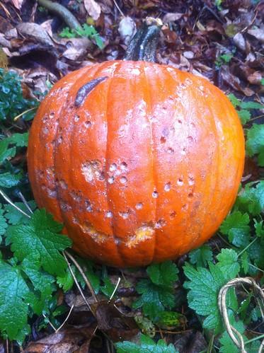 Pumpkin 7 Day 10